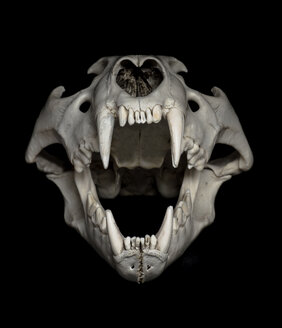 Skull of lion (Panthera leo) in front of black background - MW000025