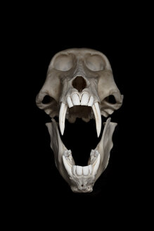 Skull of baboon (Papio) in front of black background - MW000031