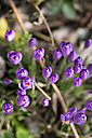 Germany, purple Crocus in garden - MYF000209