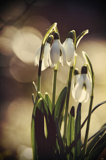 Snowdrops (Galanthus), close-up - HOHF000521