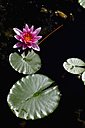 Germany, Bavaria, Wuerzburg, water lily - NDF000438
