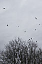 Flock of crows flying in front of rain clouds in winter - MUF001450