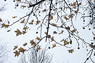 Leaves of maple in winter, view from below - MUF001451