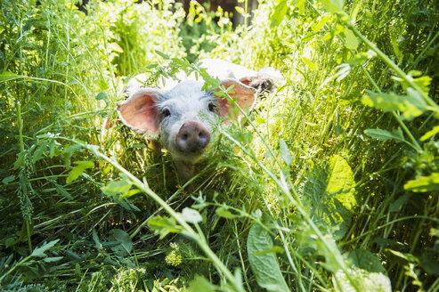 Austria, Salzburg State, Untertauern, Pongau, young domestic pig, free-range - HHF004758