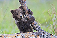 USA, Alaska, Lake Clark National Park and Preserve, Brown bear cub (Ursus arctos) climbing tree - FOF006252