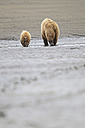 USA, Alaska, Lake Clark National Park and Preserve, Brown bear and bear cub (Ursus arctos), foraging - FO006245