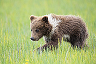 USA, Alaska, Lake Clark National Park and Preserve, Brown bear cub (Ursus arctos) walking on meadow - FOF006241
