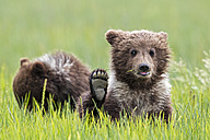 USA, Alaska, Lake Clark National Park and Preserve, Brown bear cubs (Ursus arctos) - FO006230