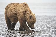 USA, Alaska, Lake Clark National Park and Preserve, Brown bear (Ursus arctos) foraging mussels - FOF006227