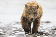USA, Alaska, Lake Clark National Park and Preserve, Brown bear cub (Ursus arctos) - FOF006225