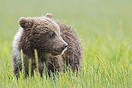 USA, Alaska, Lake Clark National Park and Preserve, Brown bear cub (Ursus arctos) standing on meadow - FO006209
