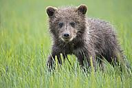 USA, Alaska, Lake Clark National Park and Preserve, Brown bear cub (Ursus arctos) standing on meadow - FOF006204