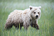USA, Alaska, Lake Clark National Park and Preserve, Brown bear cub (Ursus arctos) walking on meadow - FO006198