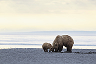 USA, Alaska, Lake Clark National Park and Preserve, Brown bear and bear cub (Ursus arctos), foraging mussels - FOF006278
