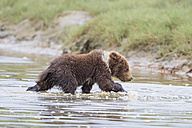 USA, Alaska, Lake Clark National Park and Preserve, Brown bear cub (Ursus arctos) walking in water - FOF006197