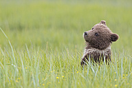 USA, Alaska, Lake Clark National Park and Preserve, Brown bear cub (Ursus arctos) sitting on meadow - FOF006194