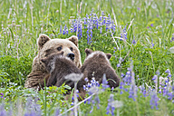 USA, Alaska, Lake Clark National Park and Preserve, Brown bear and bear cubs (Ursus arctos), lactating - FO006333