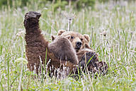 USA, Alaska, Lake Clark National Park and Preserve, Brown bear and bear cubs (Ursus arctos), lactating - FOF006334