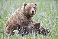 USA, Alaska, Lake Clark National Park and Preserve, Brown bear and bear cubs (Ursus arctos), lactating - FOF006336