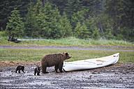 USA, Alaska, Lake Clark National Park and Preserve, Brown bear with cubs - FO006295