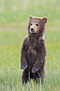 USA, Alaska, Lake Clark National Park and Preserve, Brown bear cub (Ursus arctos) standing on meadow - FOF006189