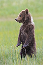 USA, Alaska, Lake Clark National Park and Preserve, Brown bear cub (Ursus arctos) standing on meadow - FOF006188