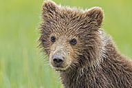 USA, Alaska, Lake Clark National Park and Preserve, Brown bear cub (Ursus arctos), portrait - FOF006187