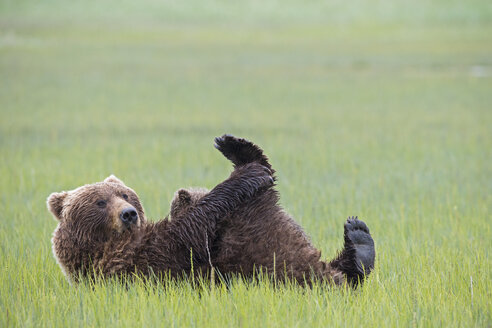 USA, Alaska, Lake Clark National Park and Preserve, Brown bear and bear cub (Ursus arctos), lactating - FOF006340