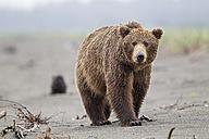 USA, Alaska, Lake Clark National Park and Preserve, Brown bear - FOF006299
