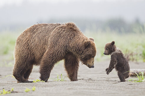 USA, Alaska, Lake Clark National Park and Preserve, Brown bear with cubs - FOF006301