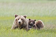 USA, Alaska, Lake Clark National Park and Preserve, Brown bear with cubs - FOF006305