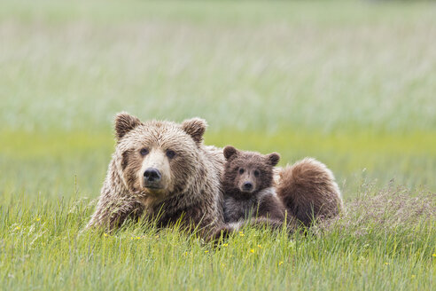 USA, Alaska, Lake Clark National Park and Preserve, Brown bear with cubs - FOF006305