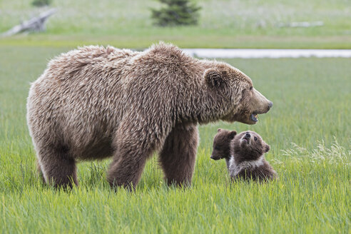USA, Alaska, Lake Clark National Park and Preserve, Brown bear with cubs - FOF006307