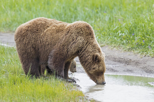 USA, Alaska, Lake Clark National Park and Preserve, Brown bear with cubs - FOF006310