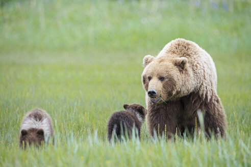 USA, Alaska, Lake Clark National Park and Preserve, Brown bear with cubs - FOF006313