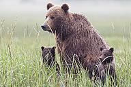 USA, Alaska, Lake Clark National Park and Preserve, Brown bear with cubs - FOF006318