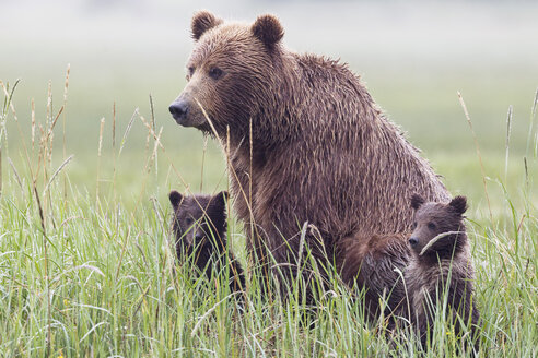 USA, Alaska, Lake Clark National Park and Preserve, Brown bear with cubs - FOF006318