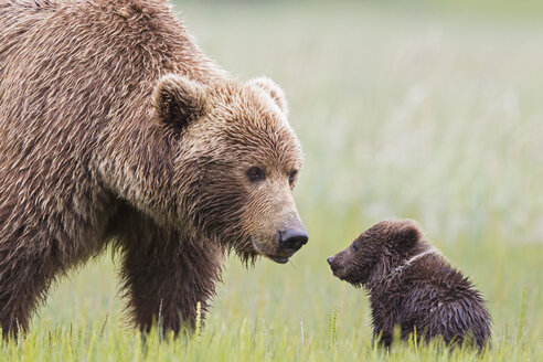 USA, Alaska, Lake Clark National Park and Preserve, Brown bear with cubs - FOF006320