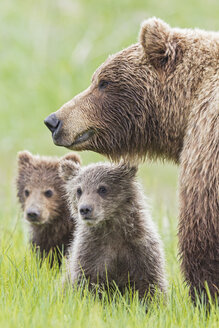 USA, Alaska, Lake Clark National Park and Preserve, Brown bear with cubs - FOF006322