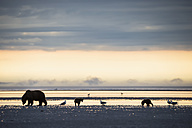 USA, Alaska, Lake Clark National Park and Preserve, Brown bear with cubs searching for mussels in lake - FO006326
