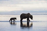 USA, Alaska, Lake Clark National Park and Preserve, Brown bear with cubs searching for mussels in lake - FO006328