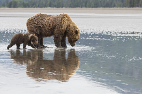 USA, Alaska, Lake Clark National Park and Preserve, Brown bear with cubs searching for mussels in lake - FOF006331