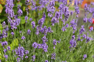 Germany, Bavaria, Lavender (Lavandula angustifolia) - SIEF005146