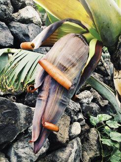 Blossom of a banana tree organically grown (Musaceae), Puerto de Naos, La Palma, Canary Islands, Spain - SEF000595