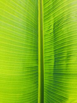 Leaf of a banana plant (Musaceae), Puerto de Naos, La Palma, Canary Islands, Spain - SEF000600