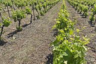 France, Herault, Lac du Salagou, vineyard - LAF000670