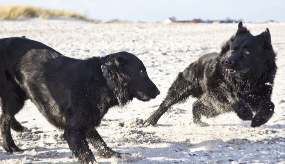 Two black dogs playing on beach - JFE000326