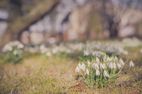 Germany, Mecklenburg-Western Pomerania, Ruegen, meadow with snowdrops (Galanthus) - MJF000898
