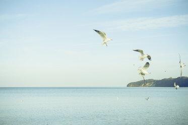 Germany, Mecklenburg-Western Pomerania, Ruegen, Binz, flying black-headed gulls (Larus ridibundus) - MJF000902
