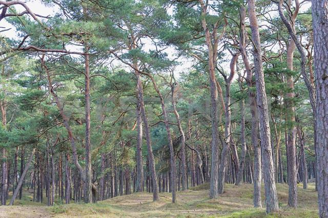 Germany, Mecklenburg-Western Pomerania, Ruegen, pine wood - MJF000916 - Jana Mänz/Westend61